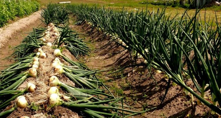 fertilize onions