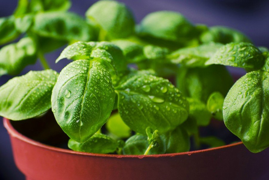Basil provides fragrance, taste and as well as other health benefits to the consumer