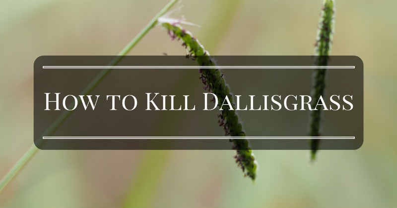 Effective ways on How to Kill Dallisgrass