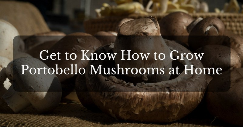 get to know how to grow portobello musshrooom at home