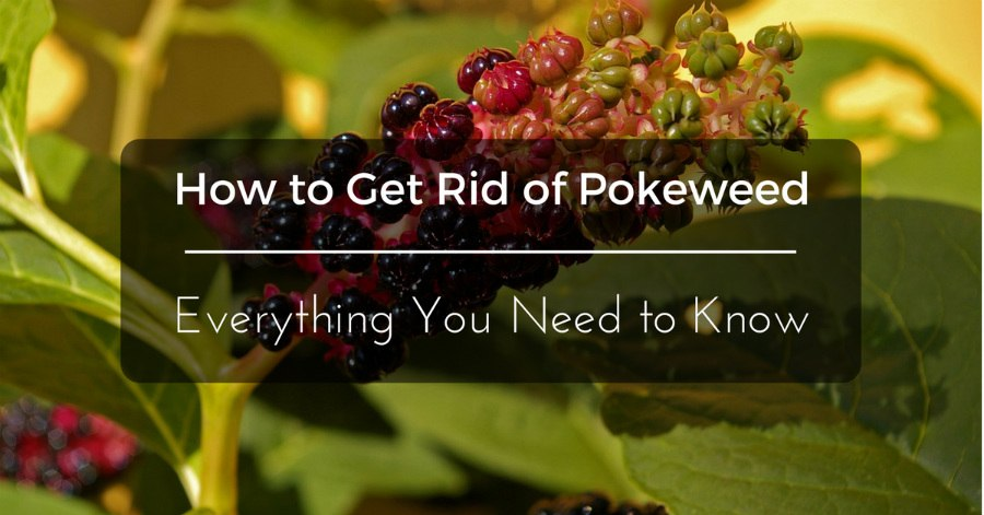 how-to-get-rid-of-pokeweed