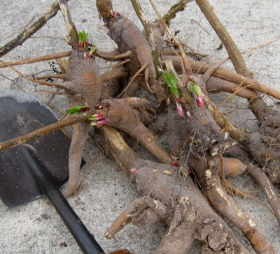 Removing pokeweed roots safely and for good