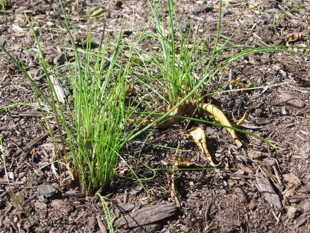 Wild Onion and Garlic​ weed