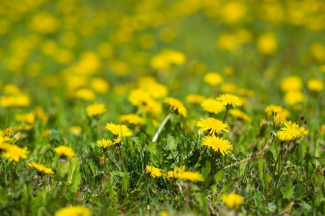 What is Dandelion Weed​