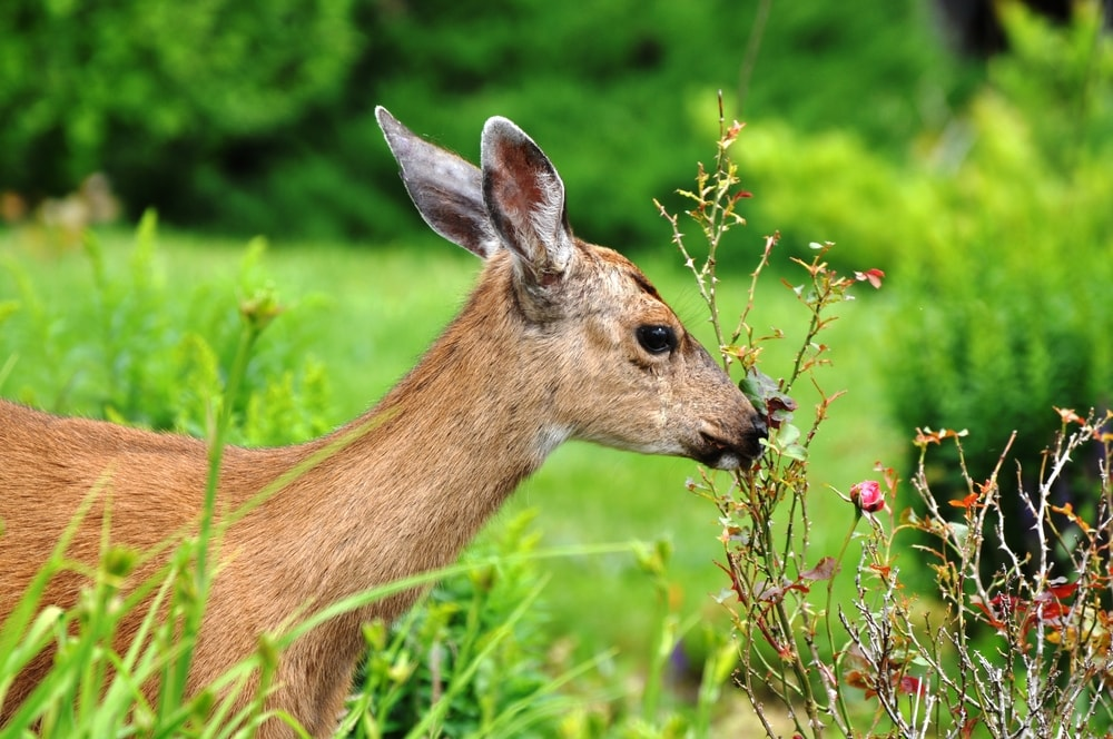 Deer eating plants in garden