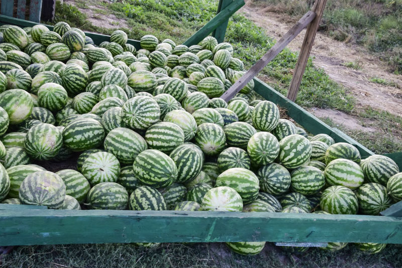Harvest Watermelon properly