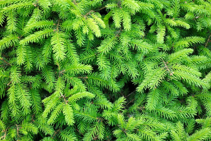 Large sparwling plants needle spruce