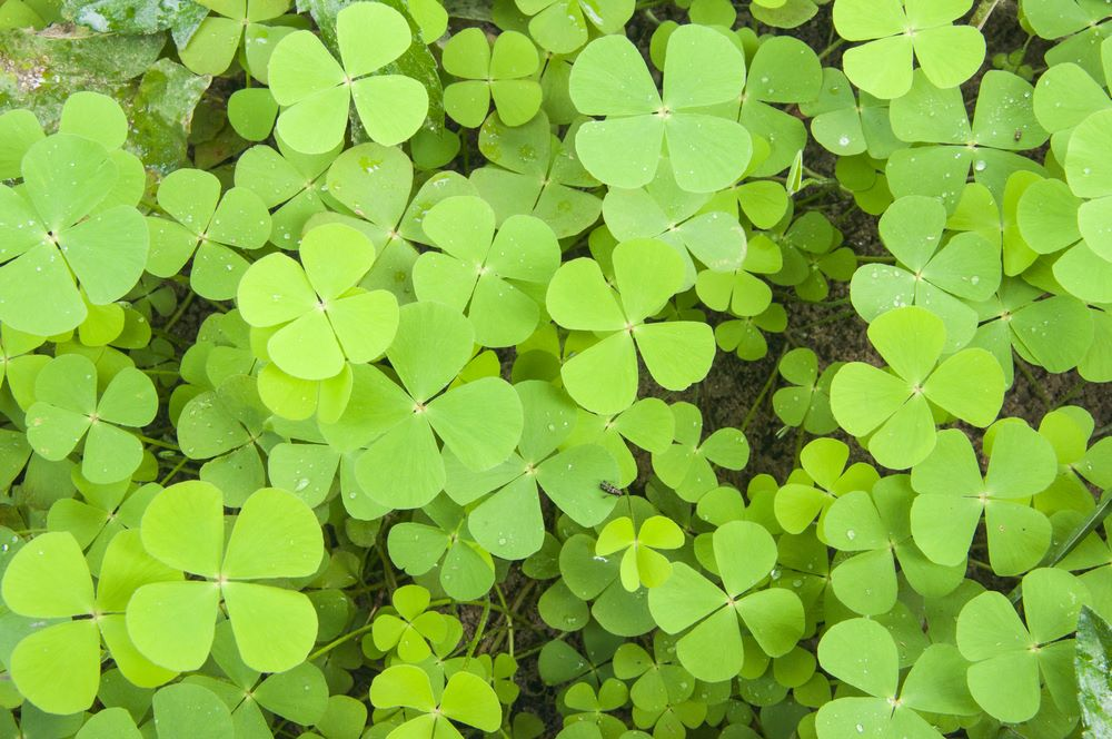 What is clover? How to kill clover
