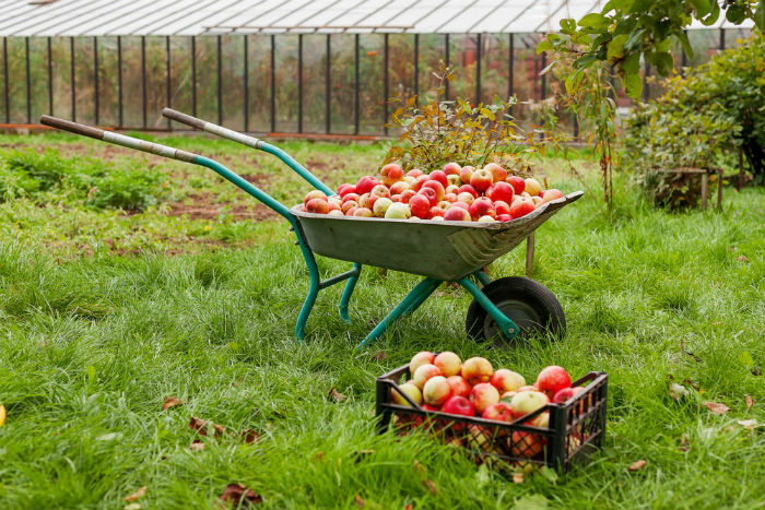 Autumn harvest - wheelbarrow and crate full of apples.