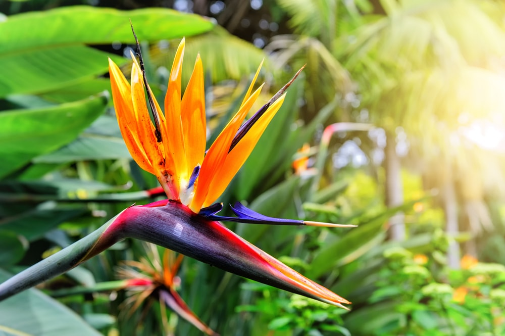Cycle of a Bird of Paradise Plant