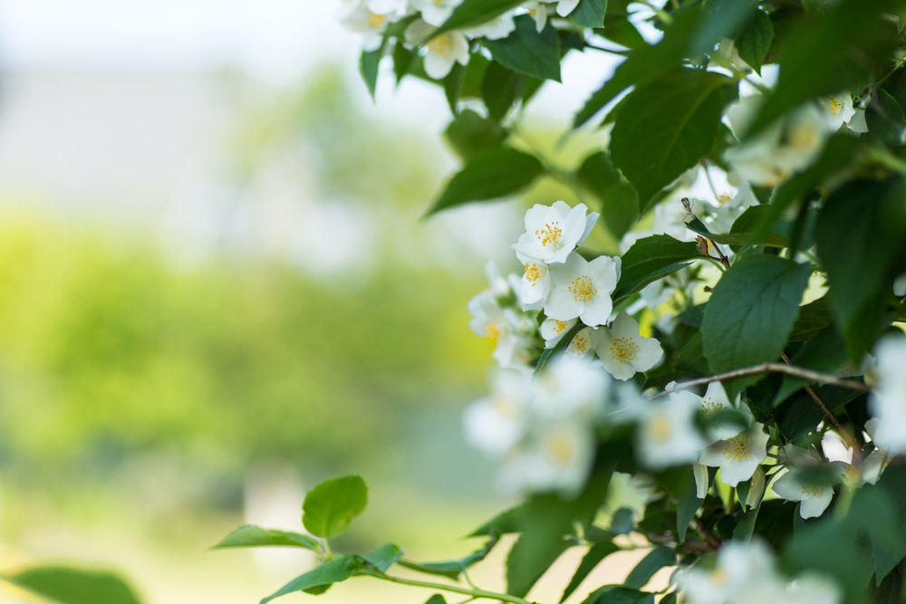 Choose the right location for Night blooming jasmine