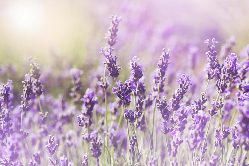Planting Season for Lavender Plants