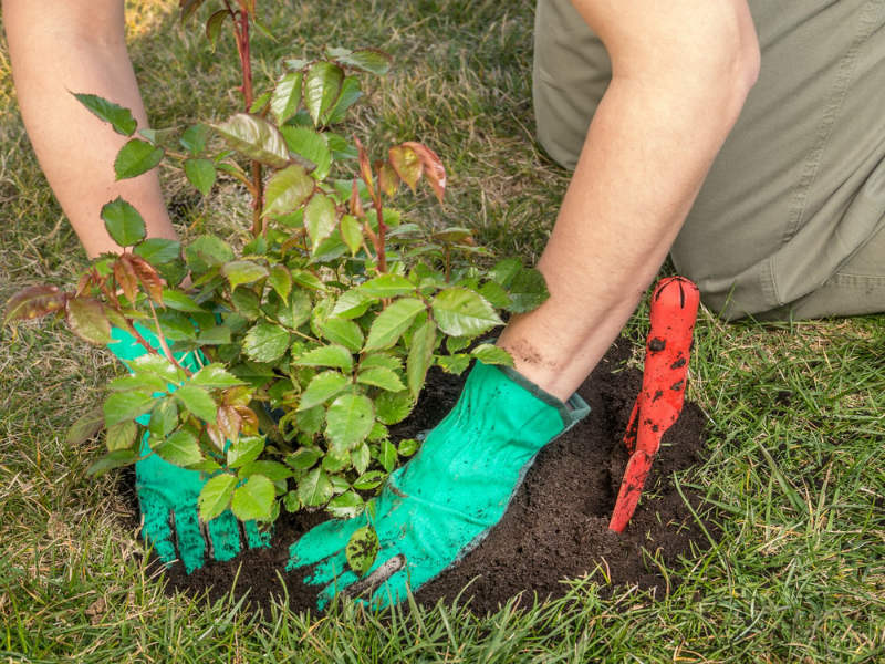 Planting the Roses in Your Garden