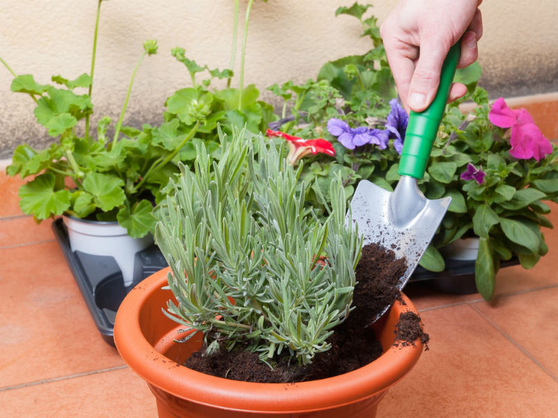 Start Planting Your Lavender Plants