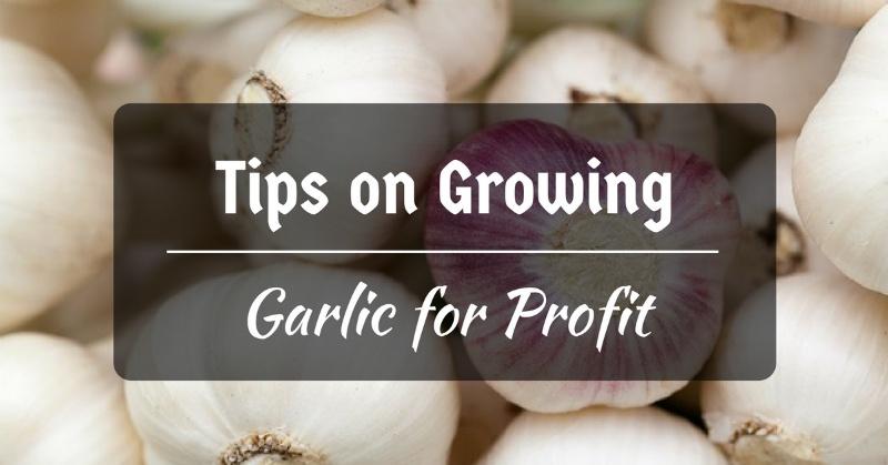 Growing garlic for profit