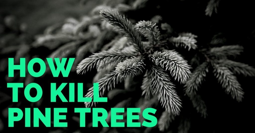 Best Way on How To Kill a Pine Tree
