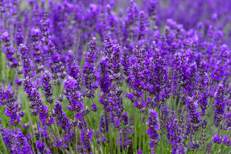 What is a Lavender Plant?