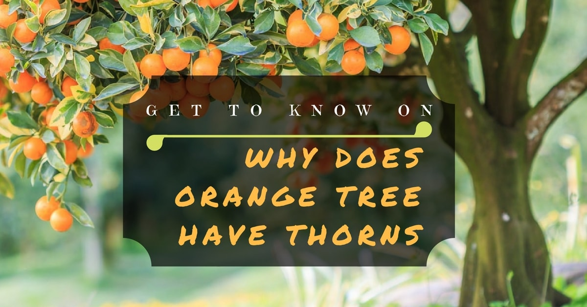 Get To Know on Why Does an orange have thorns