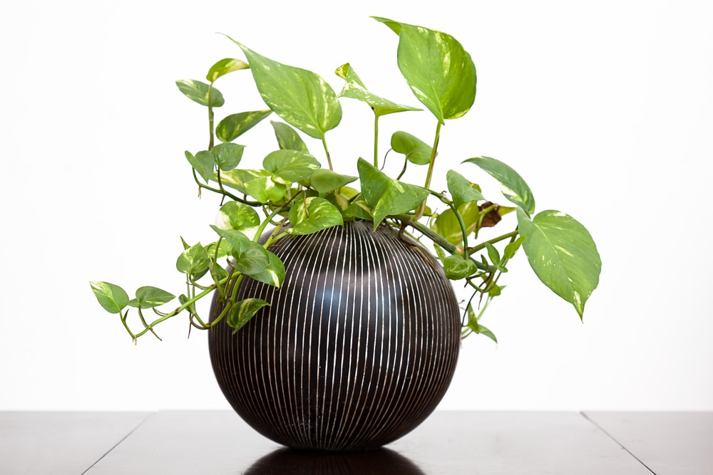 How to Propagate Pothos Plants in the Soil