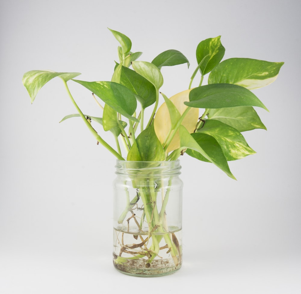 How to Propagate Pothos Plants in the Water