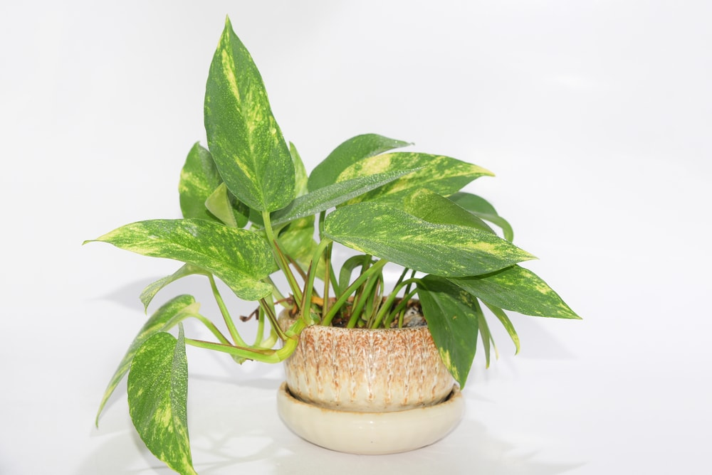 What are Pothos Plants