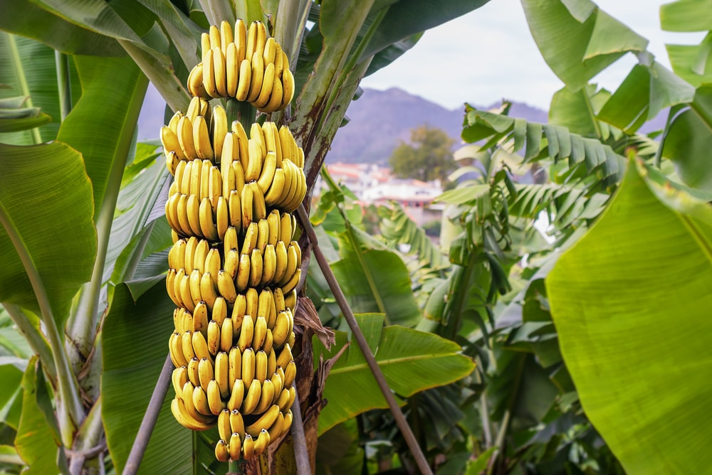 banana tree fertilizer