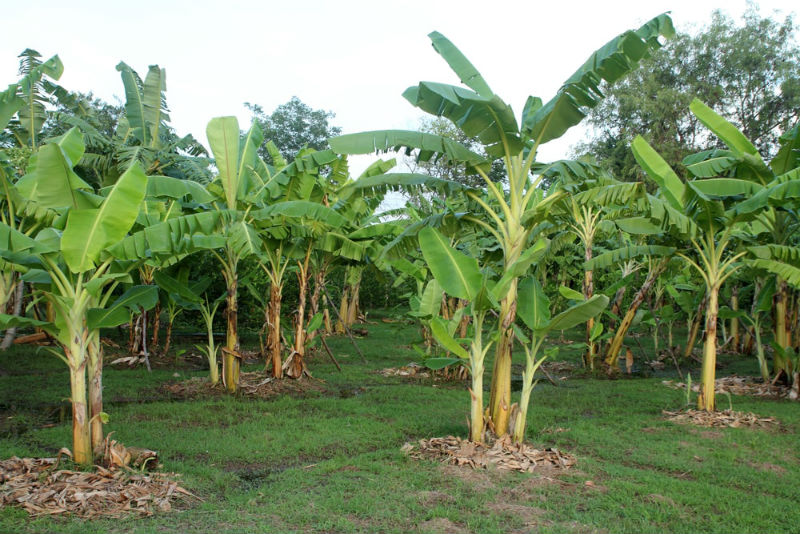 Fertilizers For Banana Trees That You Definitely Should Know