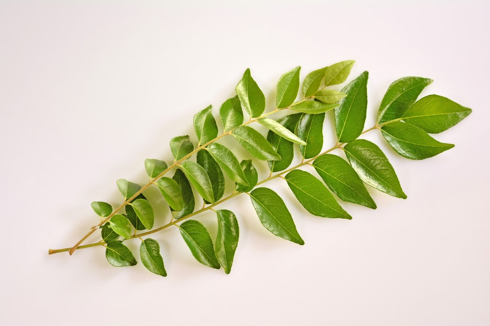 Caring for Your Curry Leaves During Winter