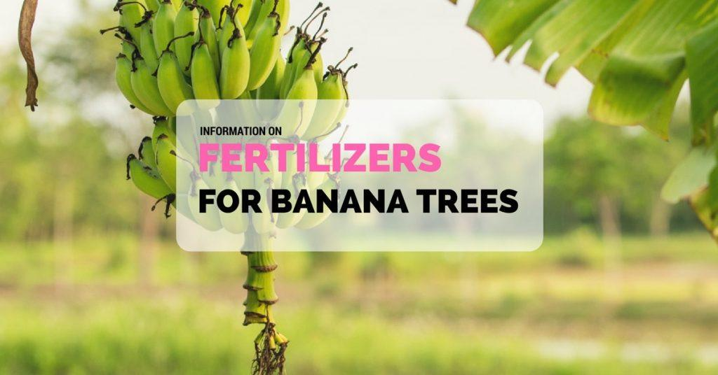 fertilizers for banana trees