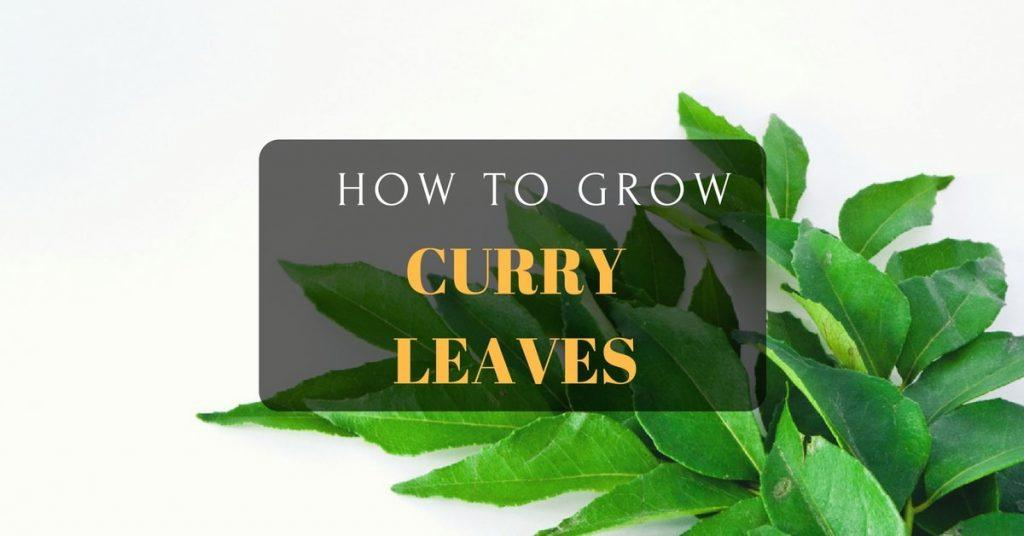 How to grow curry leaves