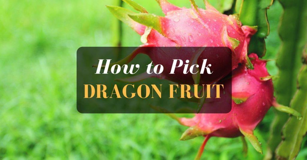 How to pick a dragon fruit