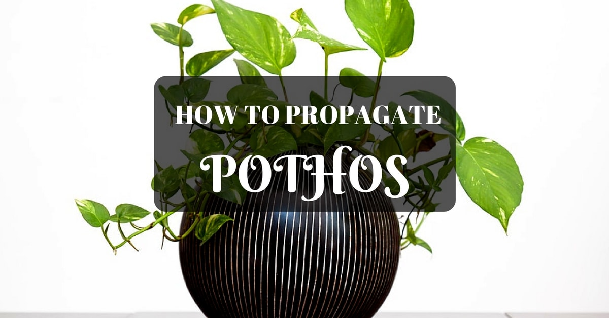 How To Propagte Pothos In The Water And Soil Sumo Gardener