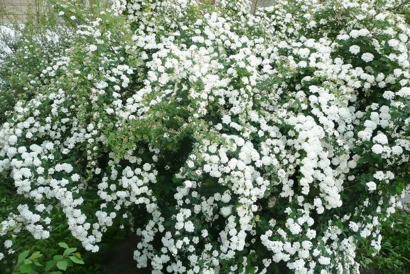 ​Tips on How to take care of Spirea