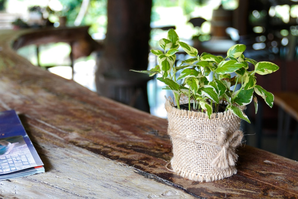 tips on how to propagate pothos