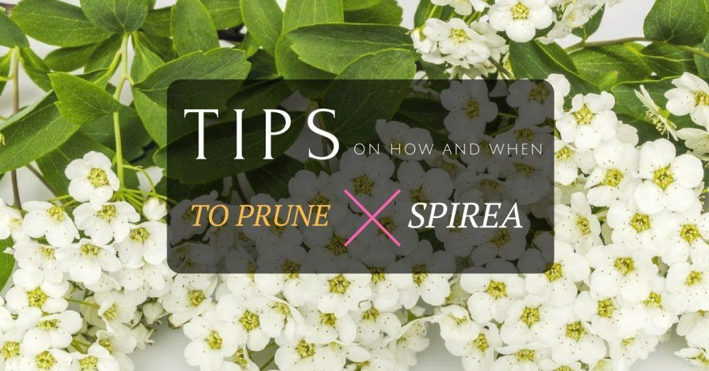 Tips on How and When to Prune Spirea