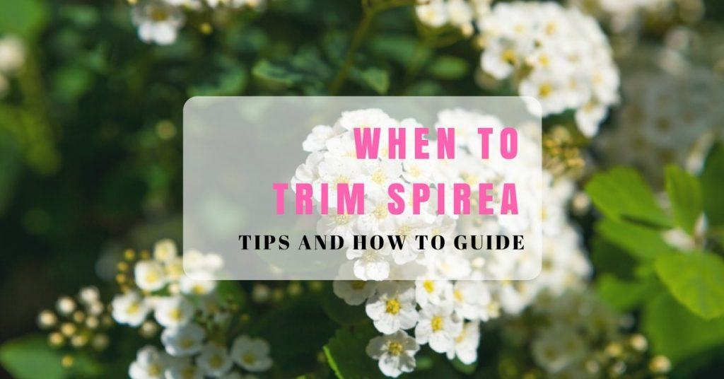 Tips on when to trim spirea
