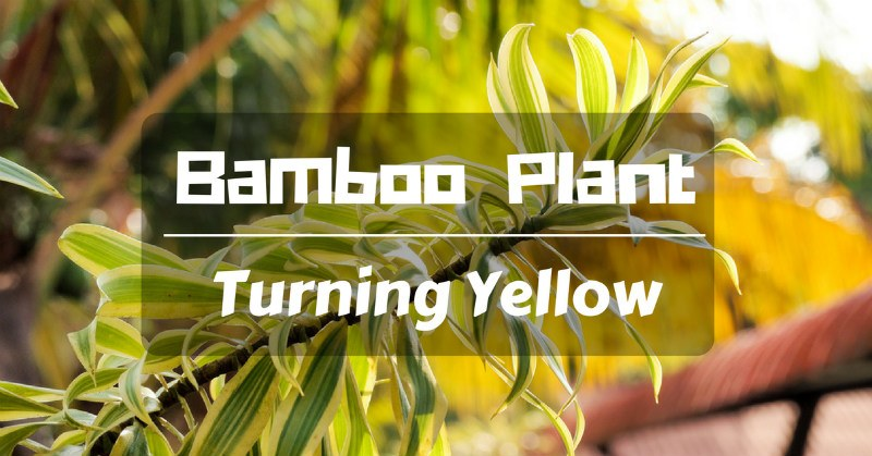 Why A Bamboo Plant Turning Yellow Is A Problem Sumo Gardener
