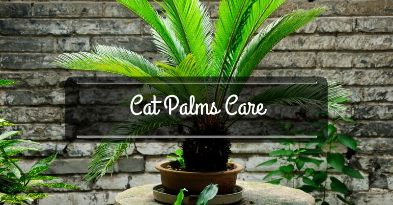 Cat Palms Care Everything You Need To Know Sumo Gardener