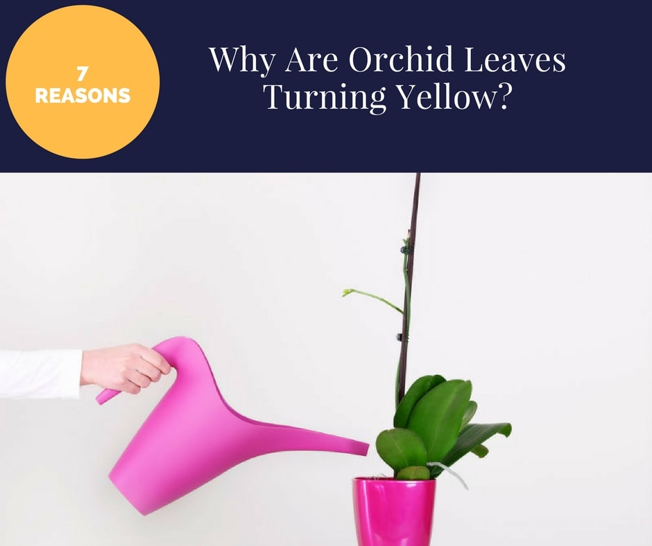 Why Is My Plants Leaves Turning Yellow: Top 7 Reasons Why Are Orchid Leaves Turning Yellow