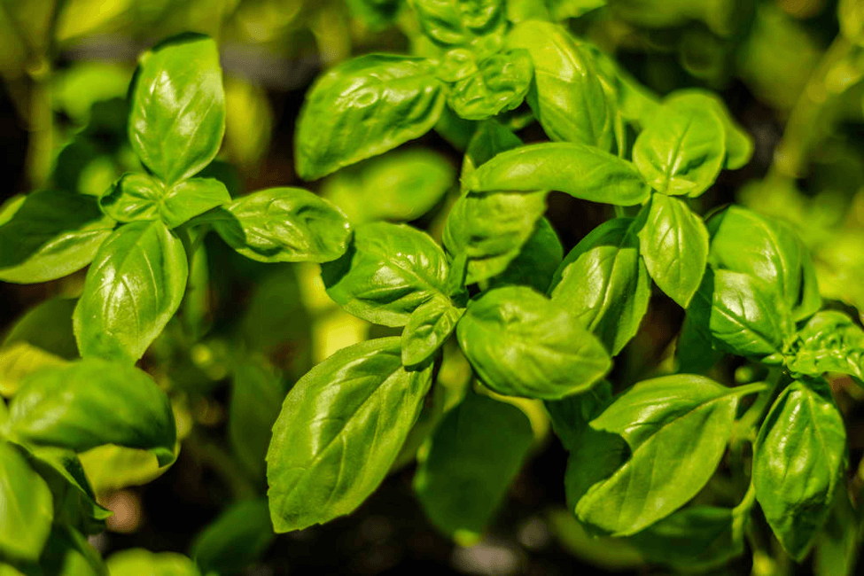 Basil is a popular herb which can be grown indoors.