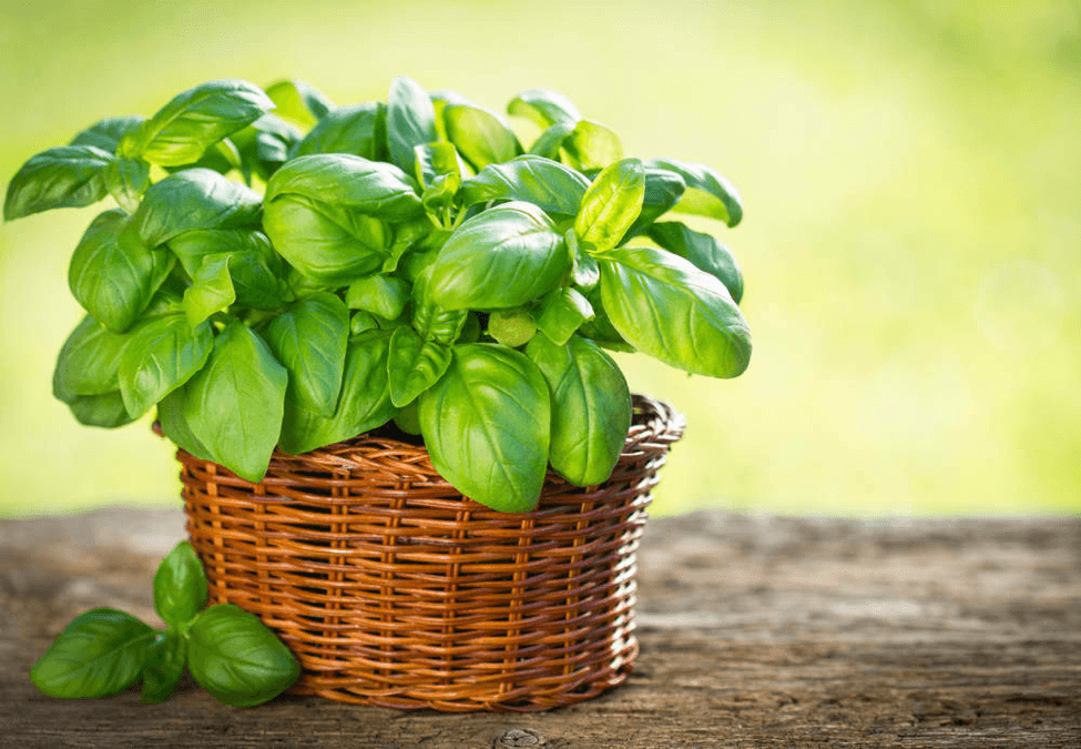 Basil's leaves look like peppermint, which is also another aromatic herb.