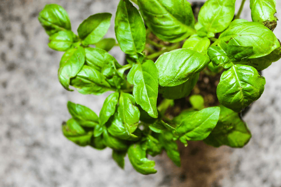 Basil needs a well-drained soil to grow indoors.