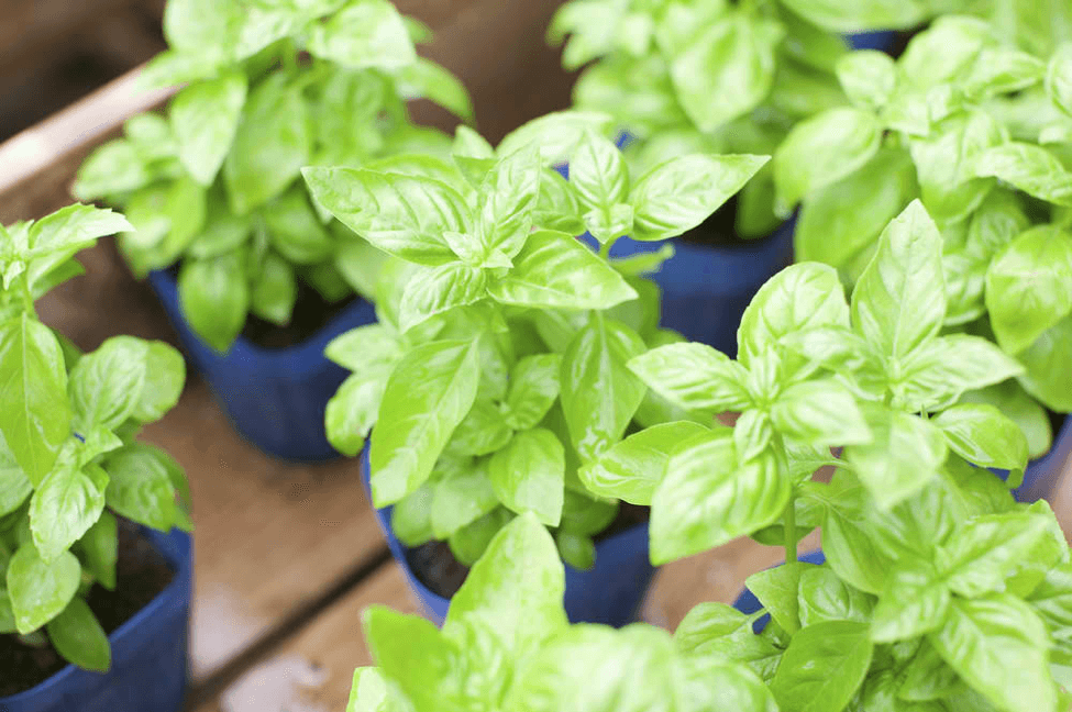 Make sure you use the right soil type-- not too dry yet not too mushy-- as this is vital when growing basil.