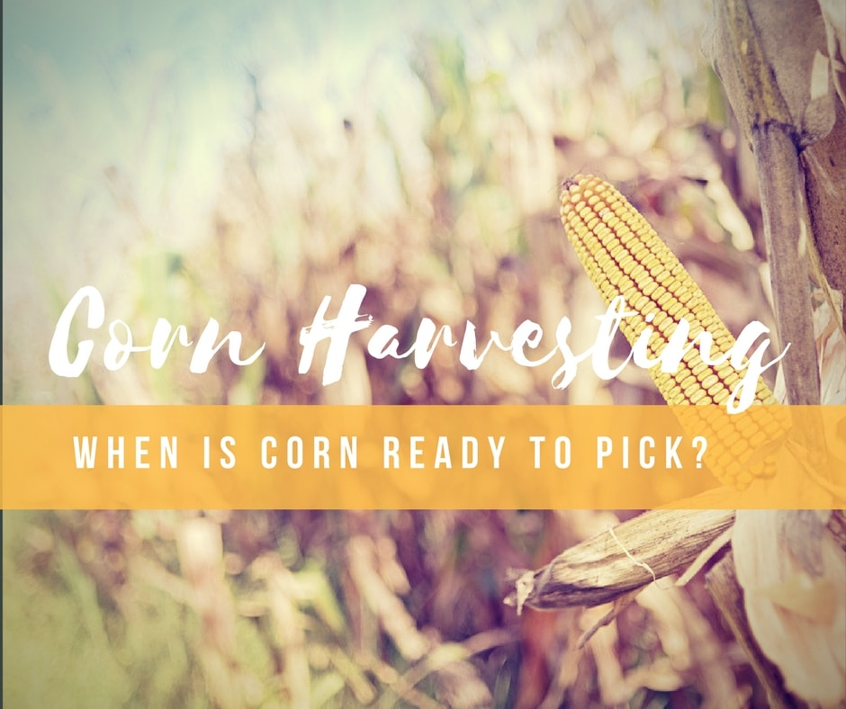When Is Corn Ready To Pick How Do You Know When To Harvest