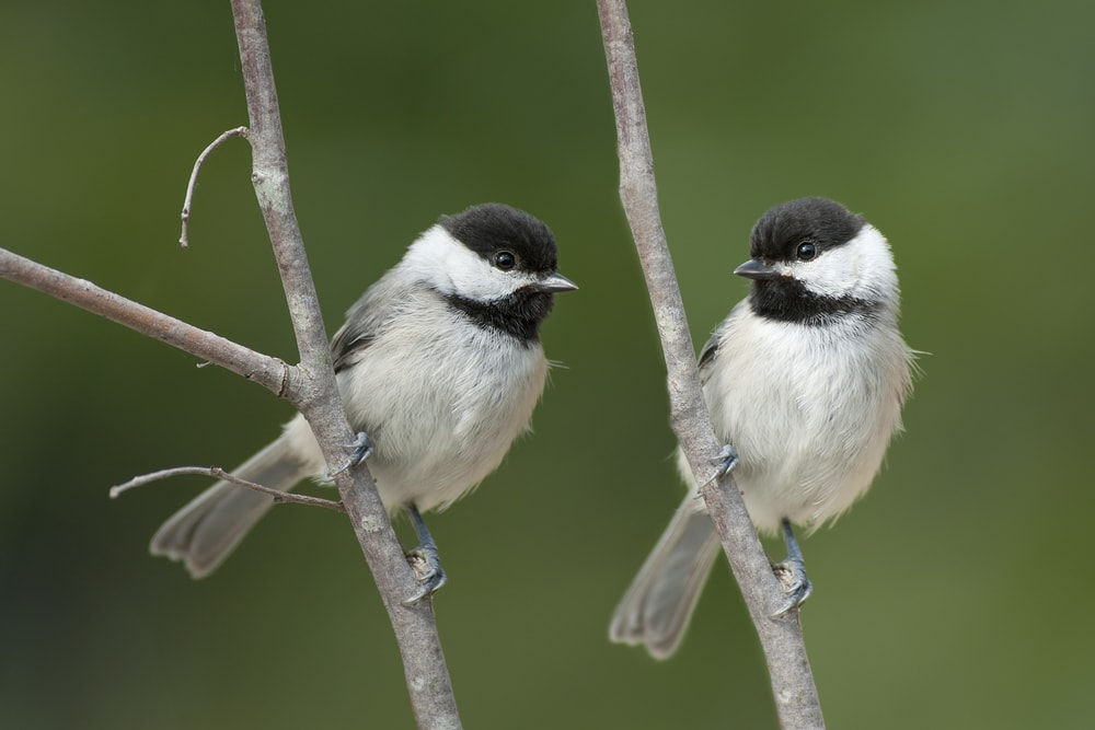 Get chickadees in garden