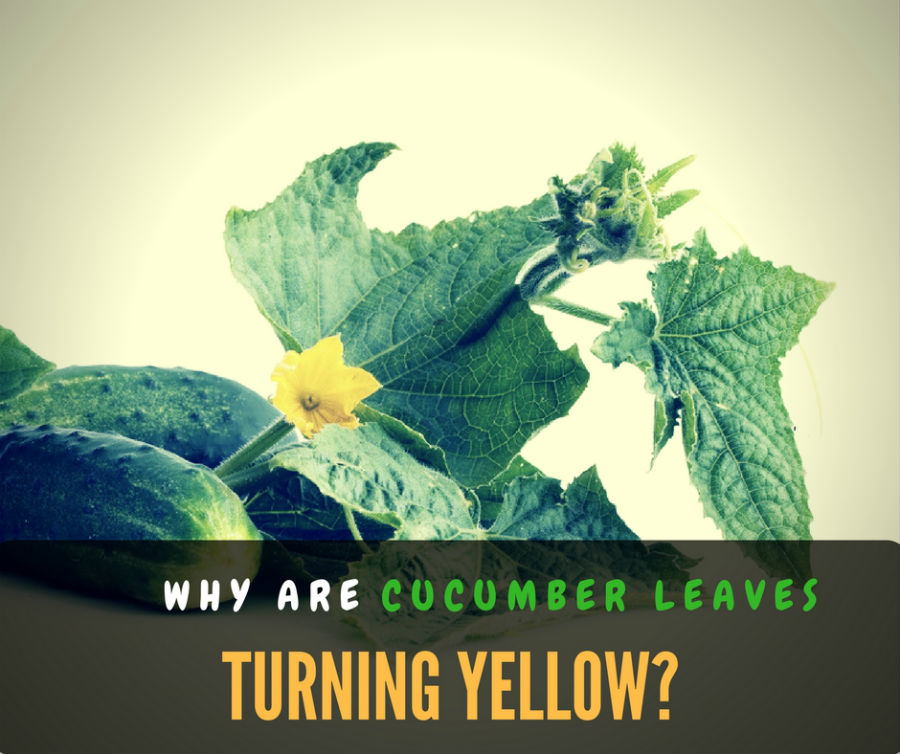Why are cucumber leaves turning yellow?