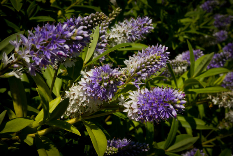 What are hebes?