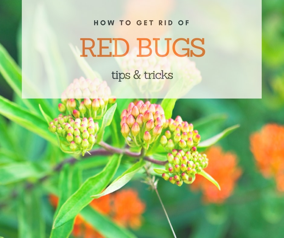 How To Get rid of red bugs effectively
