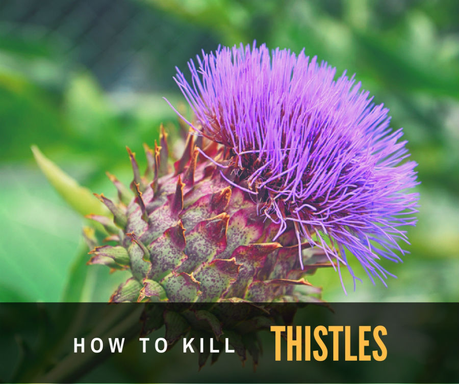 how to get rid of lawn thistles