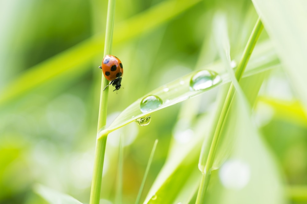 beneficial insects as ladybug beetles eating aphids